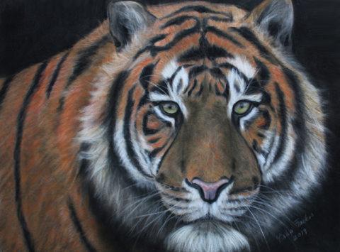 Sumatran Tiger